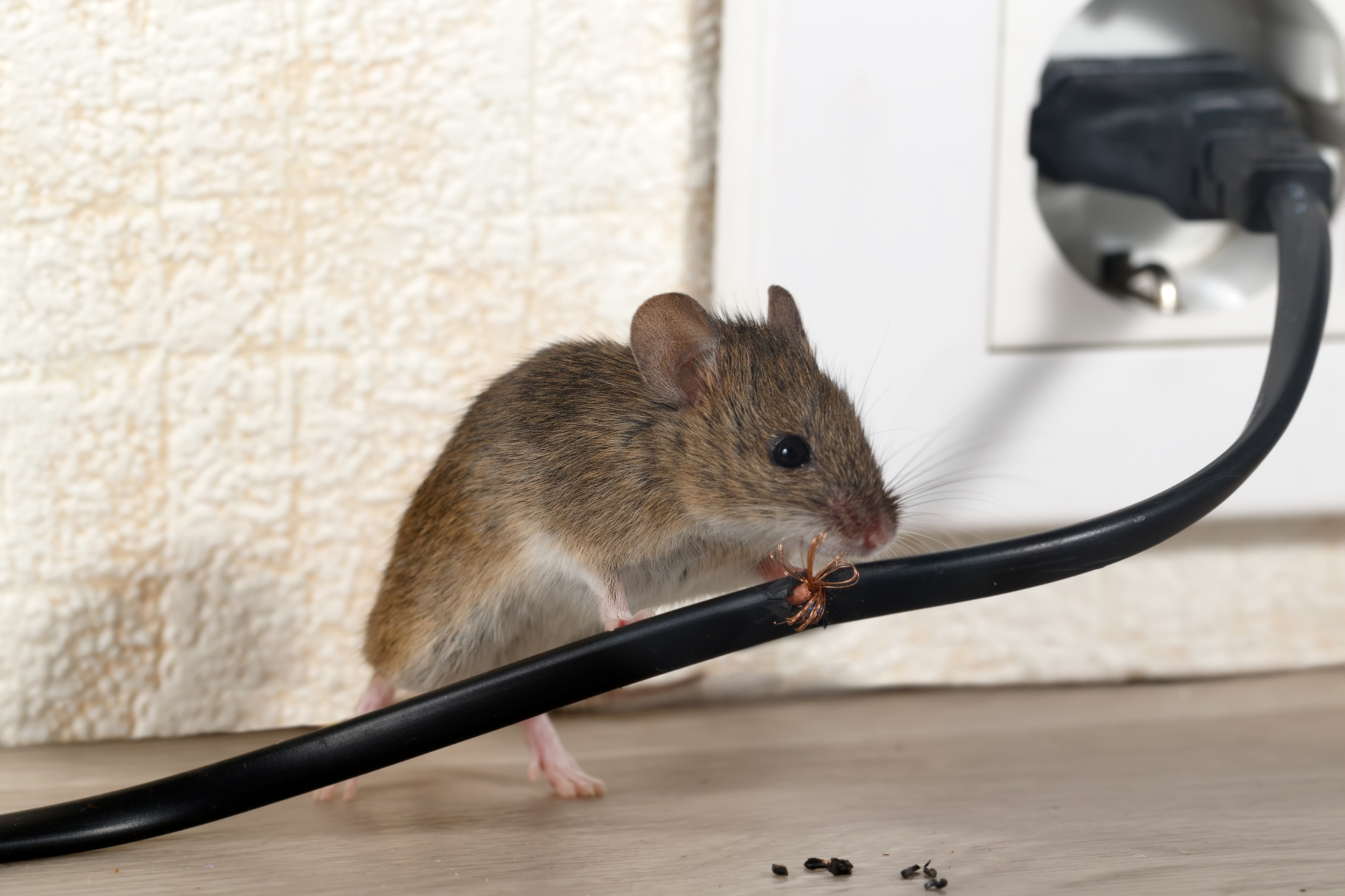 Mice Infestation, Pest Control in Roehampton, SW15. Call Now 020 8166 9746