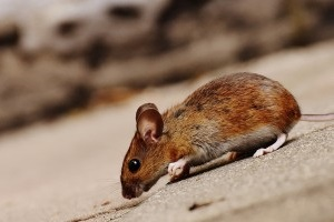 Mouse extermination, Pest Control in Roehampton, SW15. Call Now 020 8166 9746