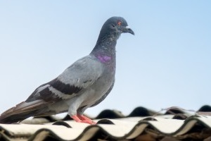 Pigeon Control, Pest Control in Roehampton, SW15. Call Now 020 8166 9746