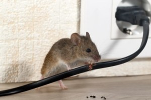 Mice Control, Pest Control in Roehampton, SW15. Call Now 020 8166 9746